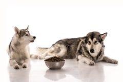 Gullig hundkapplöpning och deras favorit- mat på en vit bakgrund Arkivfoto