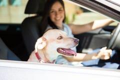 Gullig hundridning i en bil royaltyfri foto