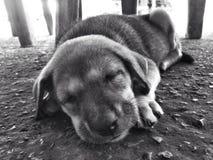 Gullig hundsömn i golvet Arkivbild