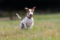 Gullig hundstålar russell på en parkera Royaltyfria Bilder