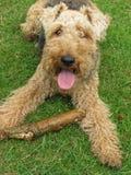 gullig hundterrier welsh Royaltyfri Bild