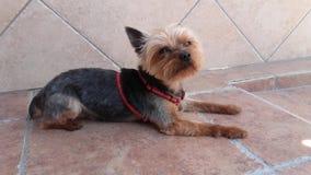 gullig hundterrier yorkshire Fotografering för Bildbyråer
