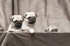 Gullig hundvalp för mops Royaltyfria Bilder