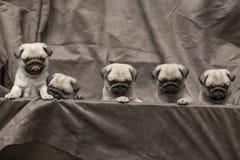Gullig hundvalp för mops Arkivfoton