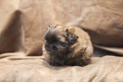Gullig hundvalp för pekines Arkivfoton