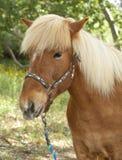 Gullig isländska Pony Head Shot Royaltyfri Fotografi