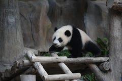 gullig jätte- liten panda för djur clamber Arkivbilder
