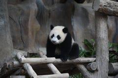 gullig jätte- liten panda för djur klättring Fotografering för Bildbyråer