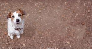 GULLIG JACK RUSSELL HUND SOM SER UPP PÅ BRUN HÖSTBAKGRUND fotografering för bildbyråer