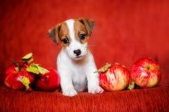 Gullig Jack Russell valp som omges av äpplen på en röd bakgrund arkivfoton