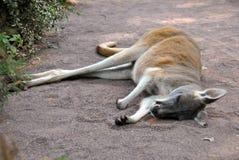 Gullig känguru som sover på jordningen arkivbilder