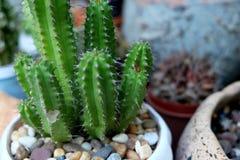 gullig kaktus Arkivbild