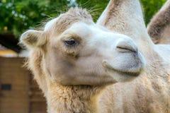 Gullig kamel på zoo arkivfoto