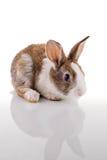 gullig kanin Royaltyfri Bild