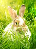 Gullig kanin i gräset Fotografering för Bildbyråer
