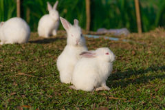 gullig kaninwhite Royaltyfri Foto