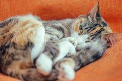 Gullig katt av sköldpadds- färg arkivfoton