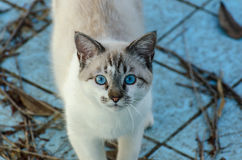 Gullig katt med blåa ögon som spelar inom en tom pöl Royaltyfria Bilder