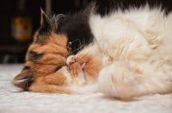 Gullig katt som ligger på mattan fotografering för bildbyråer