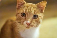Gullig katt som ser in i kameran arkivfoton