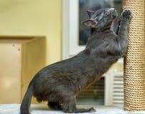 Gullig katt som skrapar en stolpe Royaltyfria Foton