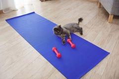 Gullig katt som spelar med konditionhantlar på golv royaltyfria foton