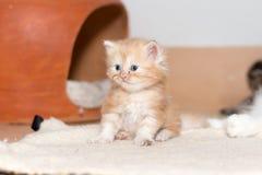 Gullig kattunge för persisk katt Fotografering för Bildbyråer