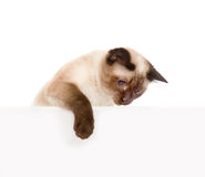 Gullig kattunge med det tomma brädet bakgrund isolerad white Royaltyfria Foton