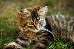 Gullig kattunge på gräset arkivbild