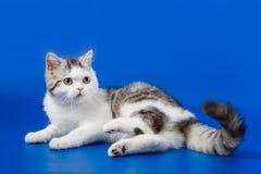 Gullig kattunge som sitter på blå bakgrund royaltyfri foto