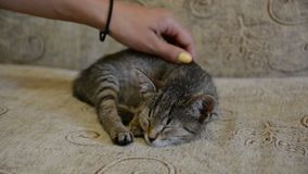Gullig kattunge som sover på en soffa Kvinnlig handsmekning det stock video