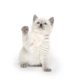 Gullig kattunge som spelar på vit royaltyfri bild