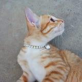 Gullig kattungekläderhalsband Katten vänder mot Royaltyfri Fotografi