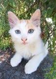 gullig kattungewhite Royaltyfri Foto