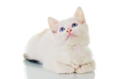 gullig kattungewhite Arkivfoto