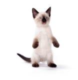 gullig kattungewhite för bakgrund royaltyfri foto