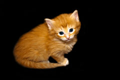 Gullig Kitten-1 Arkivfoton