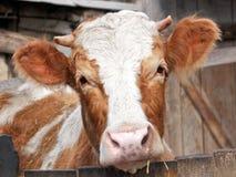 Gullig ko på lantgården Arkivbilder