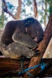 Gullig koala som har en dagdröm på ett träd arkivfoto