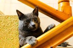 Gullig Korat katt Arkivbild