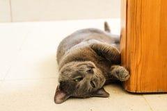 Gullig Korat katt Fotografering för Bildbyråer