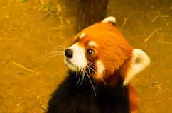 Gullig lös brun katt i zoo royaltyfri fotografi