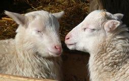 gullig lamb Arkivfoton