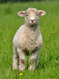 gullig lamb Royaltyfria Foton
