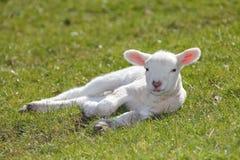 gullig lamb Royaltyfri Fotografi