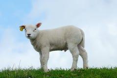 gullig lamb Arkivbilder