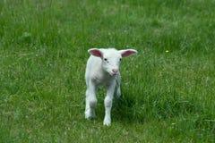 gullig lamb arkivfoto