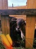 Gullig lamb royaltyfri bild