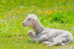 gullig lamb little Fotografering för Bildbyråer