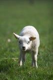 gullig lamb little Royaltyfria Bilder